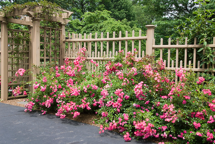 Rosa, pink Carefree Beauty, landscape roses against beautiful fence next to driveway, for gorgeous flowering landscaping in the home backyard
