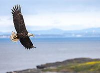 Bald Eagles on San Juan Island keep an eye on the red foxes. When adult foxes bring food in to the kits, the eagles often try to swoop in the steal it.