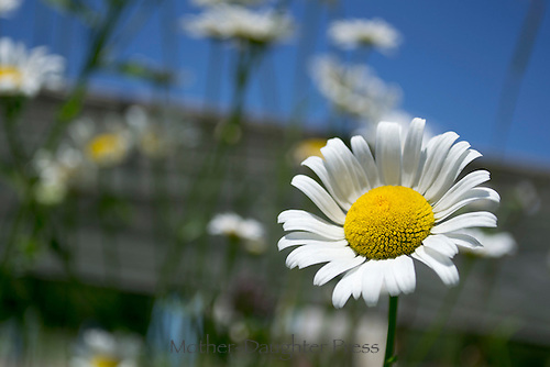 Summer Daisy with a blue sky
