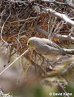 0703-1107  Verdin Building its Nest (Titmouse, Penduline Tit), Bag Nest (Hanging Nest or Dome Nest), Auriparus flaviceps  © David Kuhn/Dwight Kuhn Photography