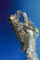 Plattbauch, beim Schlupf, Schlupfserie, Larve schlüpft aus ihrer Larvenhaut, Exuvie, Metamorphose, Plattbauch-Libelle, Plattbauchlibelle, Libellula depressa, Broad-bodied Chaser, Broadbodied Chaser, broad bodied chaser