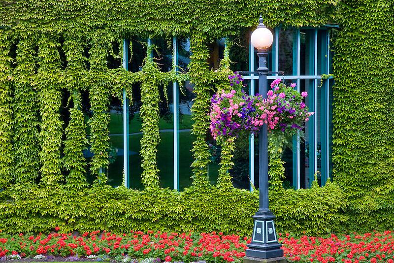 Ivy climbing on walls of Empress Hotel. Victoria, B.C.