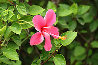 A beautiful fresh pink hibiscus flower in the middle of leaves on the plant