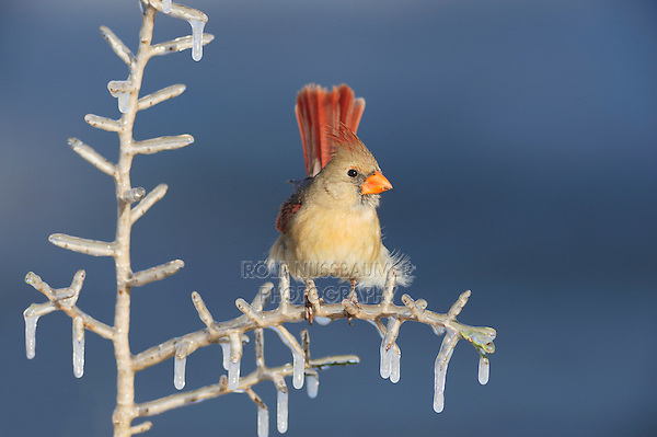 Northern Cardinal (Cardinalis cardinalis), female perched on icy branch, Dinero, Lake Corpus Christi, South Texas, USA