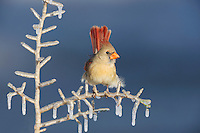 Northern Cardinal (Cardinalis cardinalis), female perched on icy branch, Dinero, Lake Corpus Christi, South Texas, USA