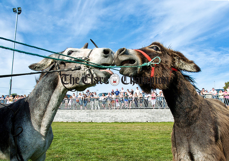 Donkeys get aquainted before racing begins during the Peadar Clancy Festival Family Fun day. Photograph by John Kelly.