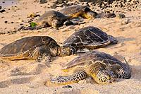 Green sea turtles, Chelonia mydas, resting in the beach, Kona, Big Island, Hawaii, USA