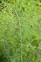 Asparagus vegetable growing and going to seed heads