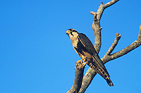 527550008 a wild aplomado falcon falco femoralis which is federally endangered in the united states stares out from its perch in a tall dead tree on a ranch in northeastern mexico