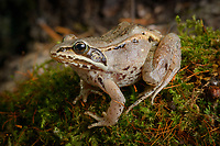 Wood Frog (Lithobates sylvaticus). Chugiak, Alaska. The only amphibian which survives in the far northern boreal forest, the wood frog's body produces natural antifreeze. This allows it to survive being frozen beneath snow for almost half the year. Photo by James R. Evans