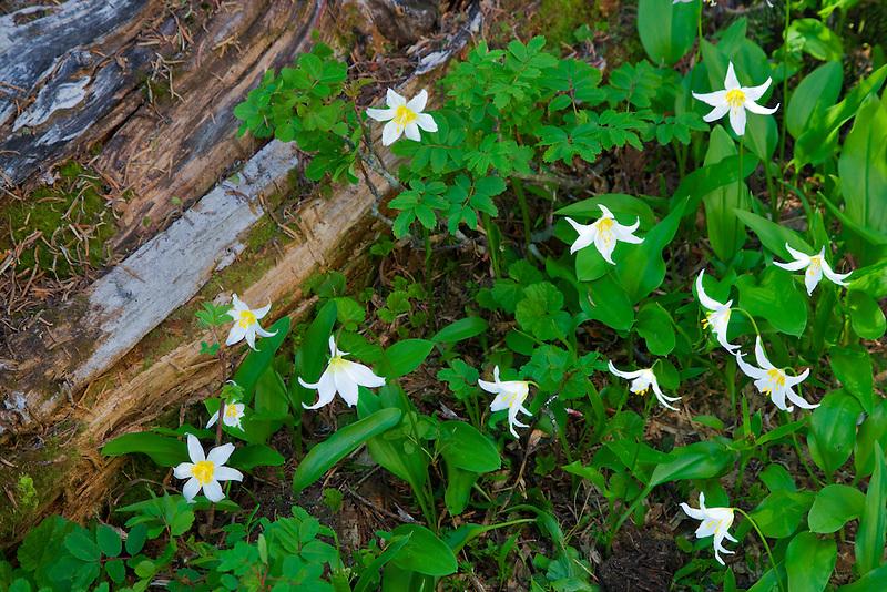 Avalanche lilies. Hurricane Ridge. Olympic National Park. Washington