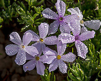Phlox or spreading phlox (phlox diffusa) covered with water droplets after rain/fog.  Pacific Northwest.  Common alpine/subalpine wildflower found from British Columbia south to Northern California.