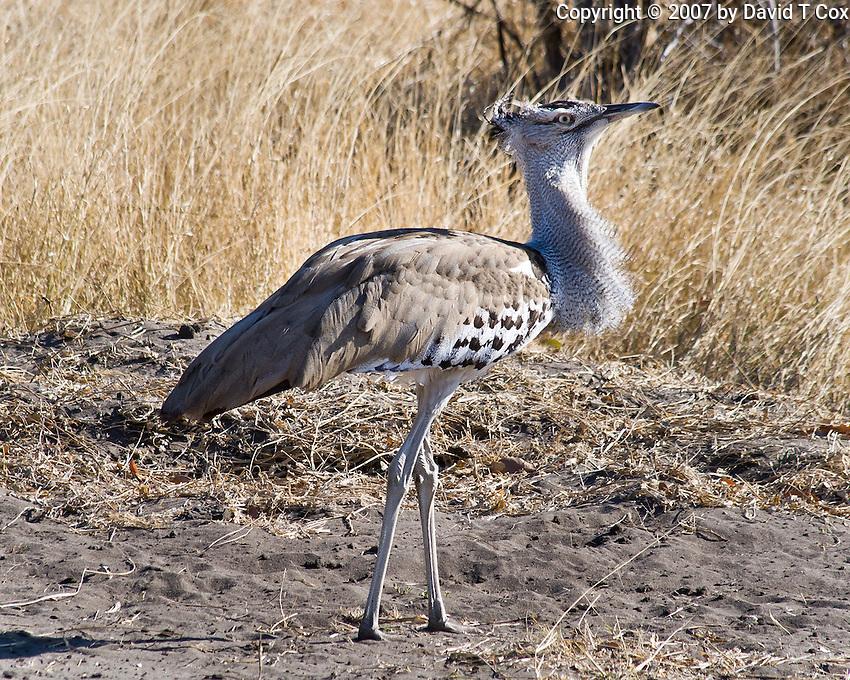 Kori Bustard, Chobe NP, Botswana