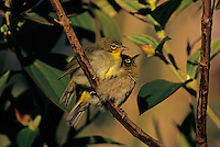 Japanese White-eye, Zosterops japonicus, young, Alakai Swamp, Kauai, Hawaii, USA