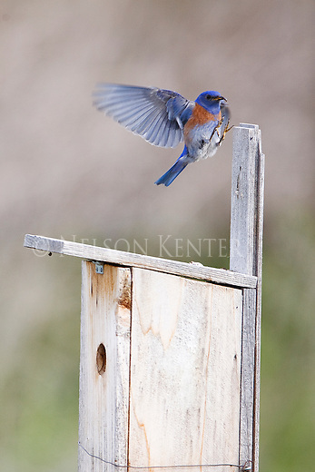 A male western bluebird landing on nest box with food
