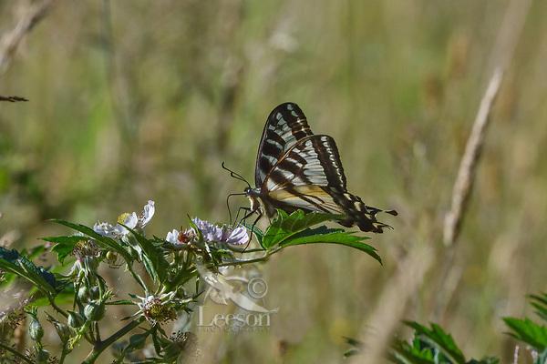 Pale Swallowtail or pallid swallowtail (Papilio eurymedon) butterfly on blackberry blossom.  Western Washington. Summer.