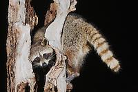 Northern Raccoon (Procyon lotor), adult in tree, Sinton, Corpus Christi, Coastal Bend, Texas, USA