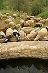 Israel, Jerusalem mountains, a flock of sheep in Ein Khod