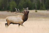 Elk, Wapiti, Cervus elaphus, bull prancing showing off,  Yellowstone NP,Wyoming, USA