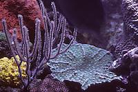 Iles Bahamas / New Providence et Paradise Island / Nassau: Hotel Atlantis à Paradise Island-les aquariums géants détail coraux