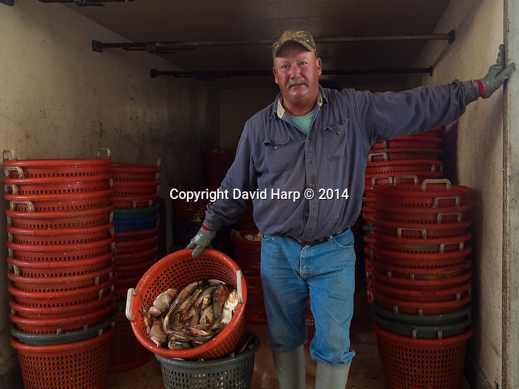 Pound netter Robbie Wilson, fills a conveyor belt with Brevoortia praegustitator,  better known as menhaden.  Kool Ice sells them to crabbers Bay-wide to bait their pots.