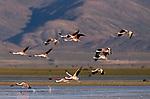 Chilean Flamingo (Phoenicopterus chilensis) flock flying, Laguna de los Pozuelos Natural Monument, Andes, northwestern Argentina