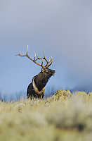 Elk, Wapiti (Cervus elaphus), bull bugling, Yellowstone National Park,Wyoming, USA