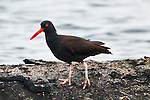 The Black Oystercatcher's orange red beak seemed electric even in the subdued light of the Pacific Northwest. Ediz Hook, Port Angeles, Washington.