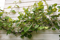 Growing Grape Vines against the house