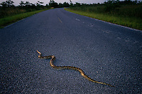 "A Burmese Python slithers across a road it was caught on in Everglades National Park. One time pets get too big and hungry for owners to handle and they are released into the ""wild."" <br /> In the 70s a few Burmese python citings were documented in the park. In the mid-90s, there were more reports. In the past two years, the number has grown and there is evidence that the snake that grows to 12 feet long is established and breeding in the park. Enough have multiplied that native Everglades wildlife is threatened."