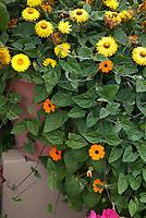 Thunbergia clock vine orange flowers in pot container garden with strawflower Helichrysum Bracteatum, annuals