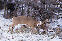 White-tailed Deer (Odocoileus virginianus), buck rubbing tree, Minnesota, USA
