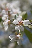 Europe/France/Bourgogne/Env d'Auxerre/Vaux: Cerisiers en fleurs vergers de l'auxerrois