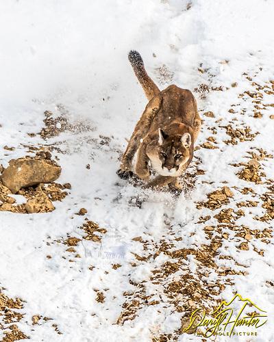 Mountain Lion in Snow, Jackson Hole Wyoming