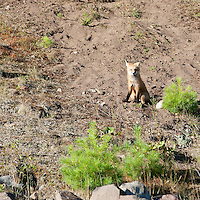 Red Fox sitting near the den entrance.