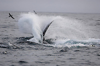 Megaptera novaeangliae Humpback whale thrashing tail whilst lunge feeding on Capelin and krill near Spitzbergen Arctic Norway