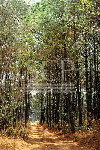Chambeshi, Zambia, Africa. Track through pine plantation.