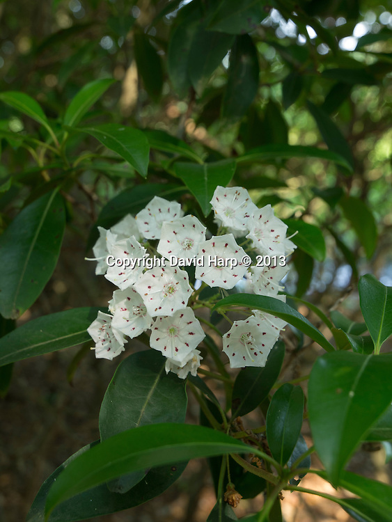 Mountain laurel at the Lynch Preserve, which is owned and maintained by the Eastern Shore Land Conservancy