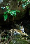 Young male Bengal tiger (Panthera tigris tigris) - around 20 months old - resting amongst rocks in forest. Bandhavgarh National Park, Madhya Pradesh, India.