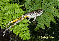 FR10-607z  Gray Treefrog jumping, Hyla versicolor