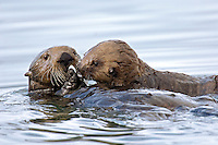 Sea Otter (Enhydra lutris) female sharing clam with her pup.  Pup is too young to hunt on its own at this stage.  Alaska.