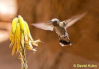 0201-1201  Female Anna's Hummingbird in Flight, Calypte anna  © David Kuhn/Dwight Kuhn Photography