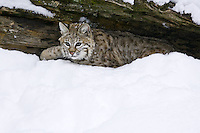 Young Bobcat emerging from under a snow covered log - CA