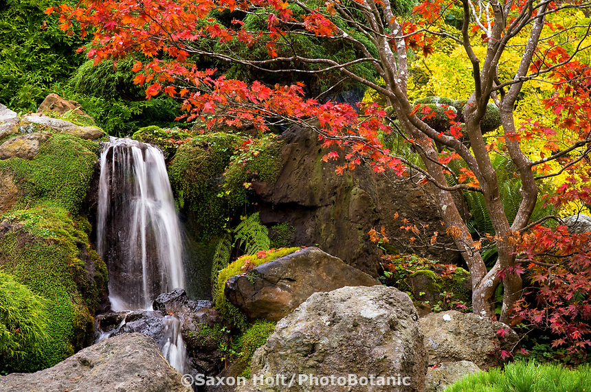 Japanese Tea Garden in Golden Gate Park, San Francisco, California. Japanese Maple tree in fall color with waterfall.