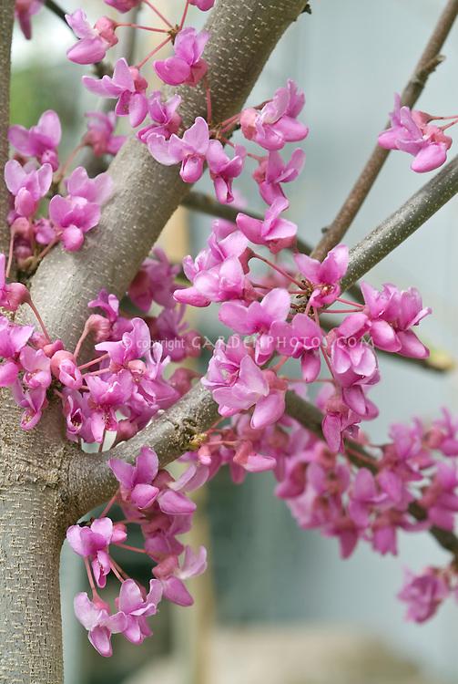 Eastern redbud tree Cercis canadensis in lavender-pink spring flowering