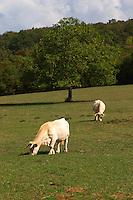 cows in a field aluze mercurey burgundy france