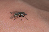 Wadenstecher, Wadenbeißer, Gemeine Stechfliege, Brennfliege, Weibchen auf menschlicher Haut, Stomoxys calcitrans, stable fly, barn fly, biting house fly, dog fly, power mower fly, female