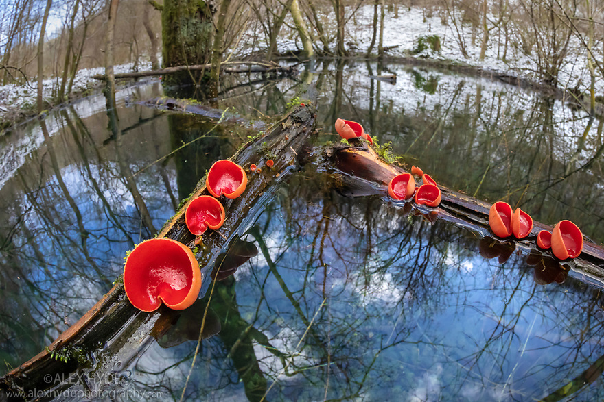 Scarlet Elf Cup Fungus (Sarcoscypha coccinea) growing on dead branches floating in an area of flooded woodland. Peak District National Park, Derbyshire, UK. February.