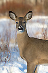 White-tailed doe (Odocoileus virginianus) standing in the snow