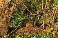 Beaver family resting in southern swamp.